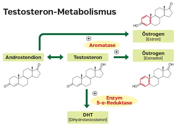 Testosteron-Metabolismus